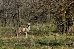 在Khortitsa海岛上的獐鹿  库存照片