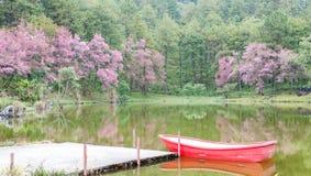 在Khun Huay吊,土井Inthanon的狂放的喜马拉雅樱桃风景, 免版税库存图片
