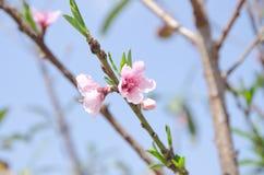 在Khun Sathan国家公园的桃子开花 免版税图库摄影