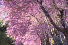 在khun Wang的充分的桃红色樱花 免版税库存照片