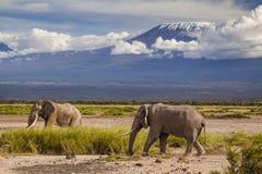 在Kilimajaro登上背景的大象 库存图片