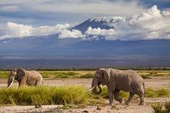 在Kilimajaro登上背景的大象 库存照片