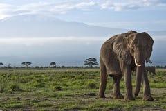 在Kilimanjaro前面的大象 图库摄影