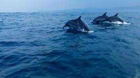 在Kiluan海湾楠榜省印度尼西亚的海豚 库存图片