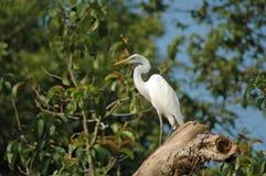 在Kinabatangan河,沙巴的伟大的白鹭 免版税库存图片