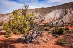 在Kodachrome盆地国家公园的杜松树 免版税库存图片