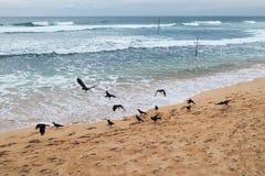 在Kogala斯里兰卡掠夺搜寻在海滩的食物的鸟在水附近 免版税库存图片