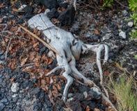 在Kohala海岸的异常的被粉刷的树桩在夏威夷的大岛 图库摄影