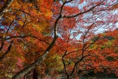 在Korankei的五颜六色的槭树momiji叶子 免版税图库摄影