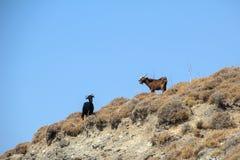 在Kos海岛上的山羊  免版税库存图片