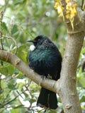 在Kowhai树栖息的Tui鸟 免版税图库摄影