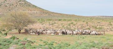 在kraal的Dorper绵羊 免版税库存照片