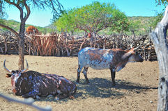 在kraal的Ovahimba的Nguni牛 免版税库存图片
