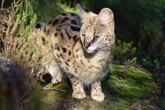 在kruger国家公园的薮猫 免版税库存图片