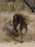 在kruger的豹子 免版税库存图片