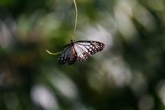在KuangSi蝴蝶公园的黑白蝴蝶 老挝luang prabang 库存图片