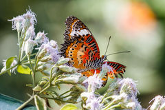 在KuangSi蝴蝶公园的黑脉金斑蝶 老挝luang prabang 免版税图库摄影