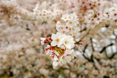在Kumagaya Arakawa绿地公园的充分开花的樱花在Kumagaya,埼玉,日本 库存照片