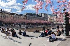 在Kungstradgarden公园的樱花 免版税库存图片
