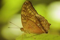 在Kuranda的蝴蝶 免版税库存图片