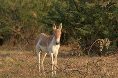 在Kutch的小兰恩的一头野驴 免版税库存图片