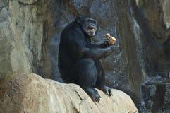 在LA动物园的一只马哈莱山黑猩猩在岩石吃 免版税库存照片