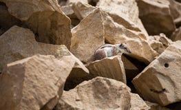 在La被削去的海滩的花栗鼠 图库摄影