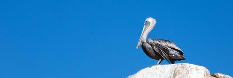 在La Anegada岩石的公鹈鹕在Los卡约埃尔考斯/土地在Cabo圣卢卡斯巴哈墨西哥结束 免版税库存照片