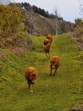 在La Arboleda的布朗母牛在毕尔巴鄂附近 免版税图库摄影
