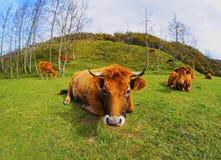 在La Arboleda的布朗母牛在毕尔巴鄂附近 库存图片
