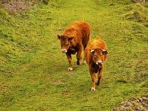 在La Arboleda的布朗母牛在毕尔巴鄂附近 库存照片