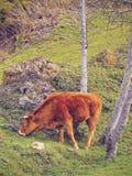 在La Arboleda的布朗母牛在毕尔巴鄂附近 免版税库存照片