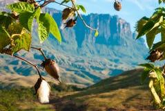 在La Gran Sabana,委内瑞拉的棉花树 库存图片