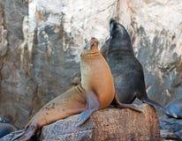 """在La Lobera """"the狼海狮殖民地晃动在Los卡约埃尔考斯在土地在Cabo圣卢卡斯结束的Lair†的加利福尼亚海狮夫妇 免版税库存图片"""