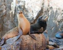 """在La Lobera """"the狼海狮殖民地晃动在Los卡约埃尔考斯在土地在Cabo圣卢卡斯结束的Lair†的加利福尼亚海狮夫妇 图库摄影"""