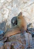 """在La Lobera """"the狼海狮殖民地晃动在Los卡约埃尔考斯在土地在Cabo圣卢卡斯结束的Lair†的加利福尼亚海狮夫妇 免版税库存照片"""
