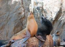 """在La Lobera """"the狼海狮殖民地晃动在Los卡约埃尔考斯在土地在Cabo圣卢卡斯结束的Lair†的加利福尼亚海狮 免版税库存照片"""