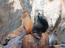 """在La Lobera """"the狼海狮殖民地晃动在Los卡约埃尔考斯在土地在Cabo圣卢卡斯结束的Lair†的加利福尼亚海狮对 免版税图库摄影"""