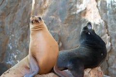 """在La Lobera """"the狼海狮殖民地晃动在Los卡约埃尔考斯在土地在Cabo圣卢卡斯结束的Lair†的两只加利福尼亚海狮 库存图片"""