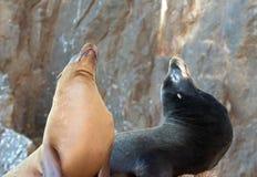 """在La Lobera [""""the狼Lair†的]加利福尼亚海狮夫妇在Los卡约埃尔考斯的海狮殖民地岩石在土地在Cabo圣卢克结束 库存照片"""