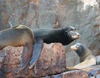 """在La Lobera [""""the狼Lair†的]加利福尼亚海狮在Los卡约埃尔考斯的海狮殖民地岩石在土地在Cabo圣卢卡斯结束 库存图片"""