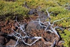 在La palma塔武连特山的干分支 免版税图库摄影
