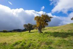 在La Plaine des Cafres,雷乌尼翁冰岛的开花的高地罗望子树 免版税库存图片