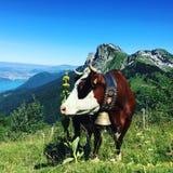 在La Tournette顶部的母牛在法国 免版税库存图片