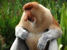 在Labuk海湾美洲红树的一只罕见的长鼻猴  库存图片