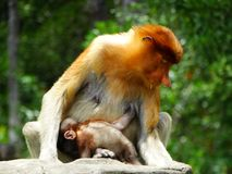 在Labuk海湾美洲红树的一只罕见的长鼻猴  免版税库存图片
