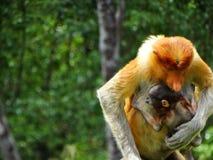 在Labuk海湾美洲红树的一只罕见的长鼻猴  库存照片