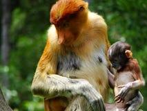 在Labuk海湾美洲红树的一只罕见的长鼻猴  免版税图库摄影