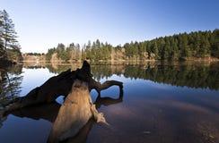 在Lacamas湖的断枝 免版税库存图片