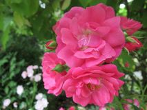 在Ladner,三角洲,夏天的俏丽的逗人喜爱的夏天玫瑰2018年 库存图片